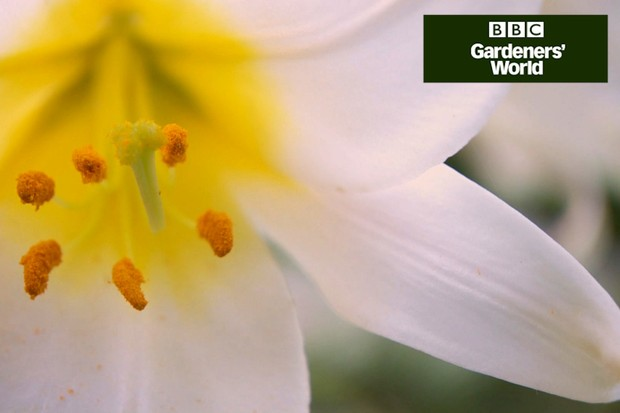How to plant lilies in pots - Gardeners' World programme clip