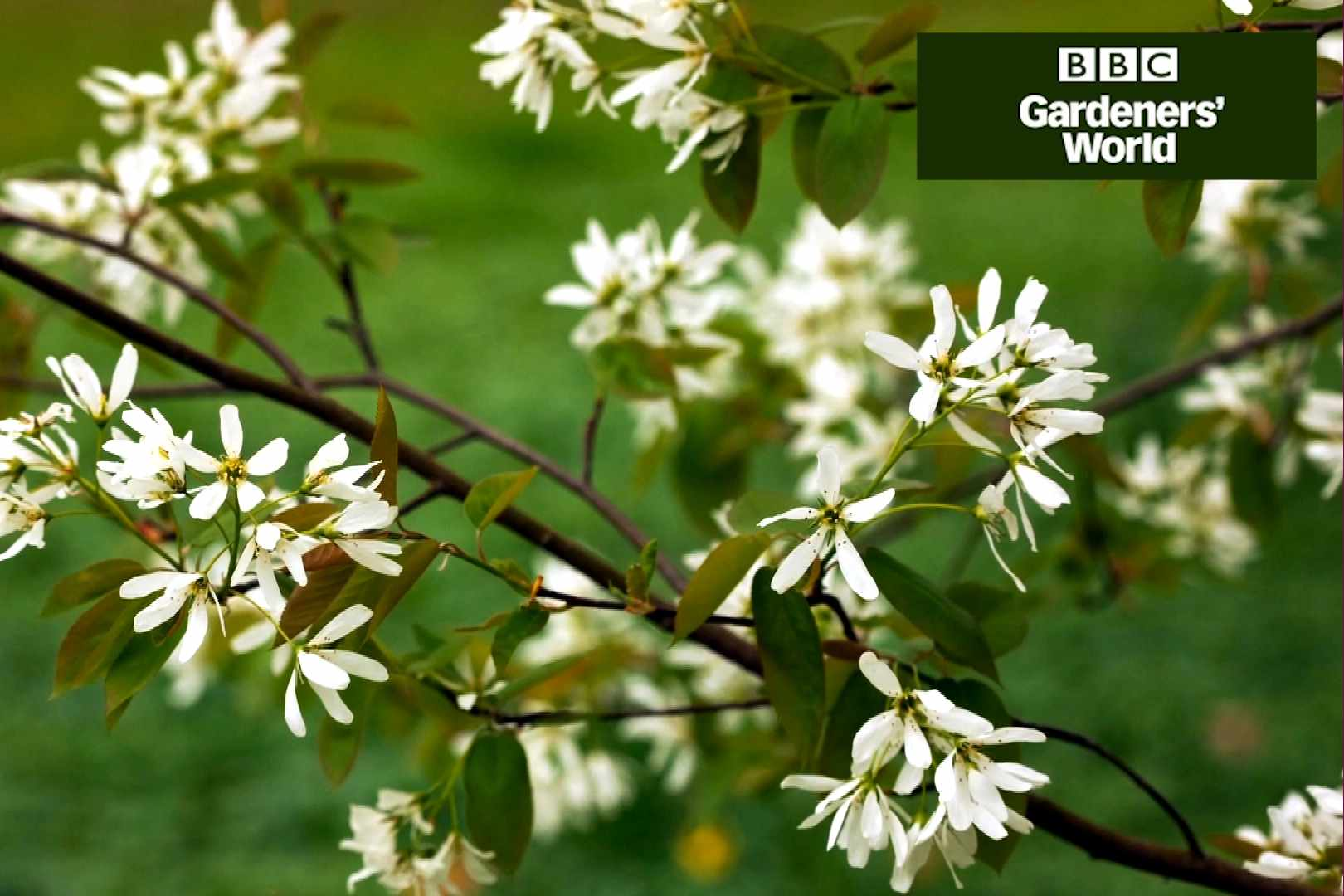 How to plant amelanchier - Gardeners' World programme clip