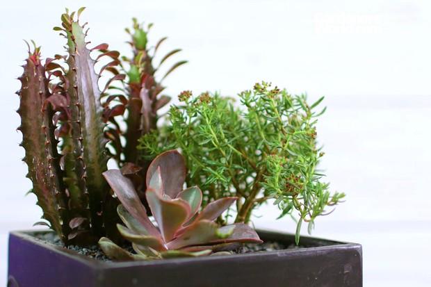 Euphorbia trigona f. rubra at the rear