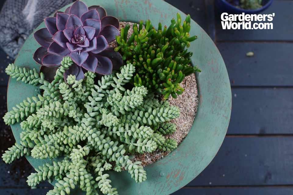Crassula, sedum and echeveria succulent container display
