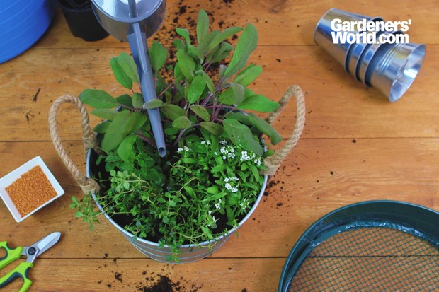 Sage, oregano, thyme and sweet alyssum herb container