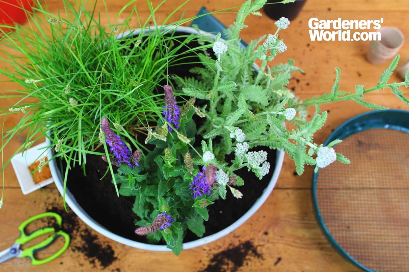 Salvia, achillea and sesleria container
