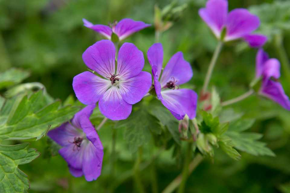 Plants you can't kill - Geranium 'Rozanne'