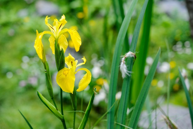 Yellow flag iris, Iris pseudacorus