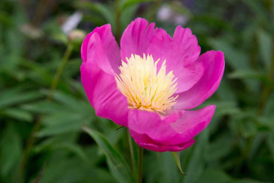 Paeonia lactiflora 'Bowl of Love'