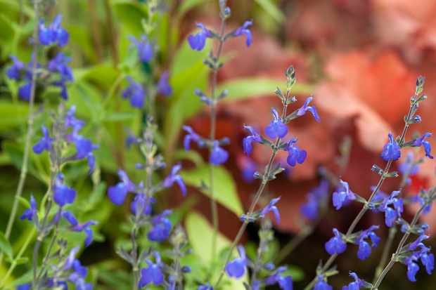 Salvia x jamensis 'Blue Armor'