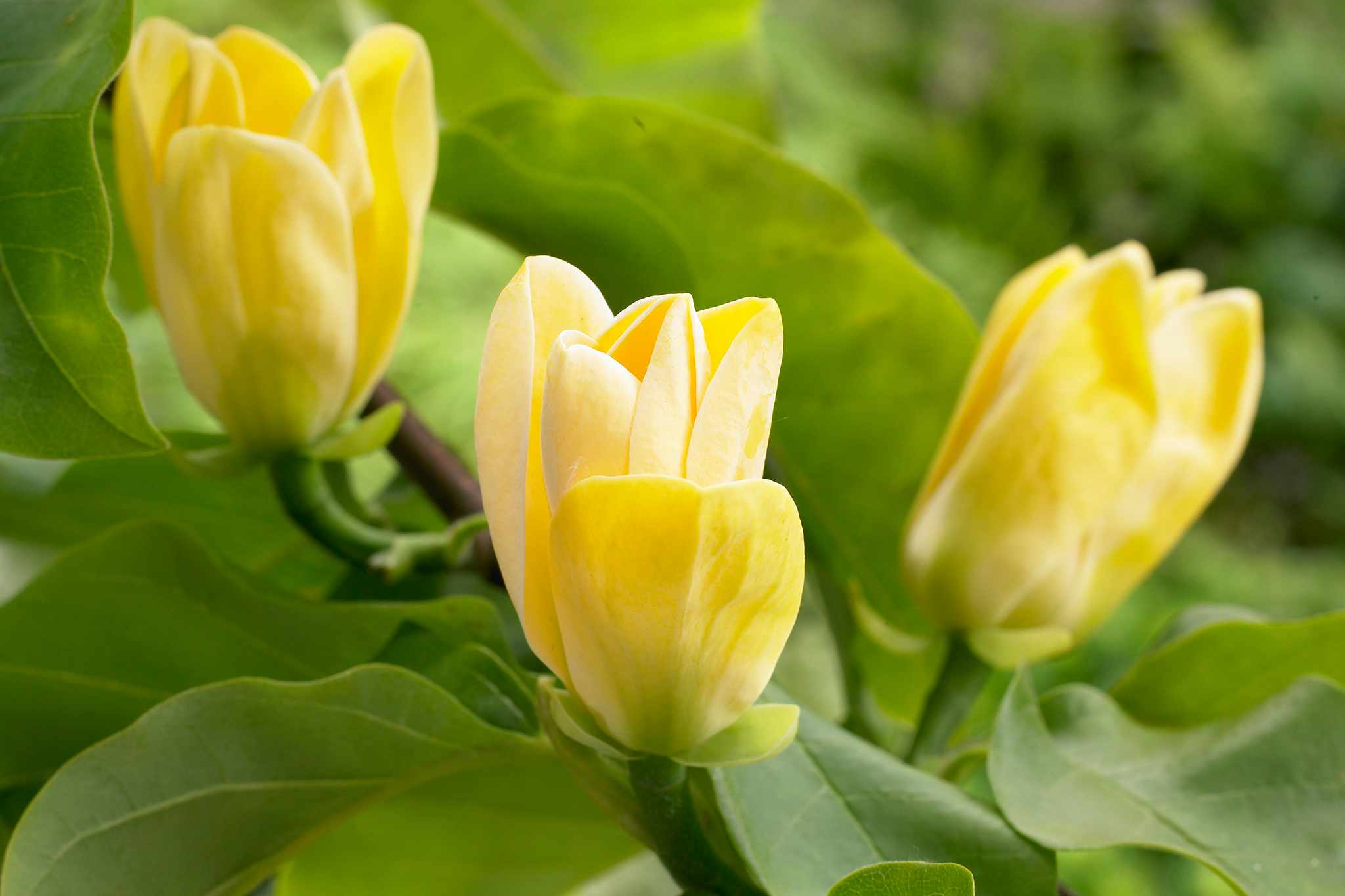 blooming-direct-magnolia-yellow-bird-bogof-2048-1365