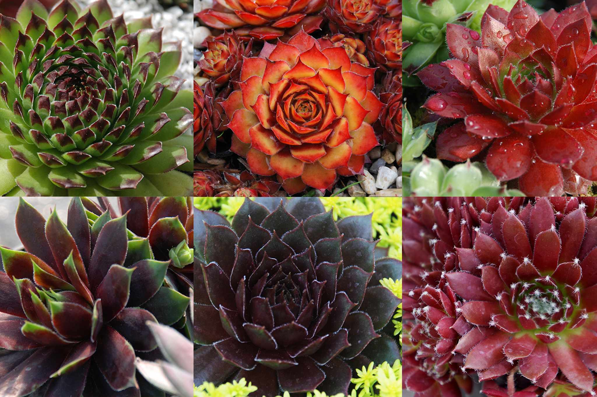 blooming-direct-sempervivums-collection-2048-1365
