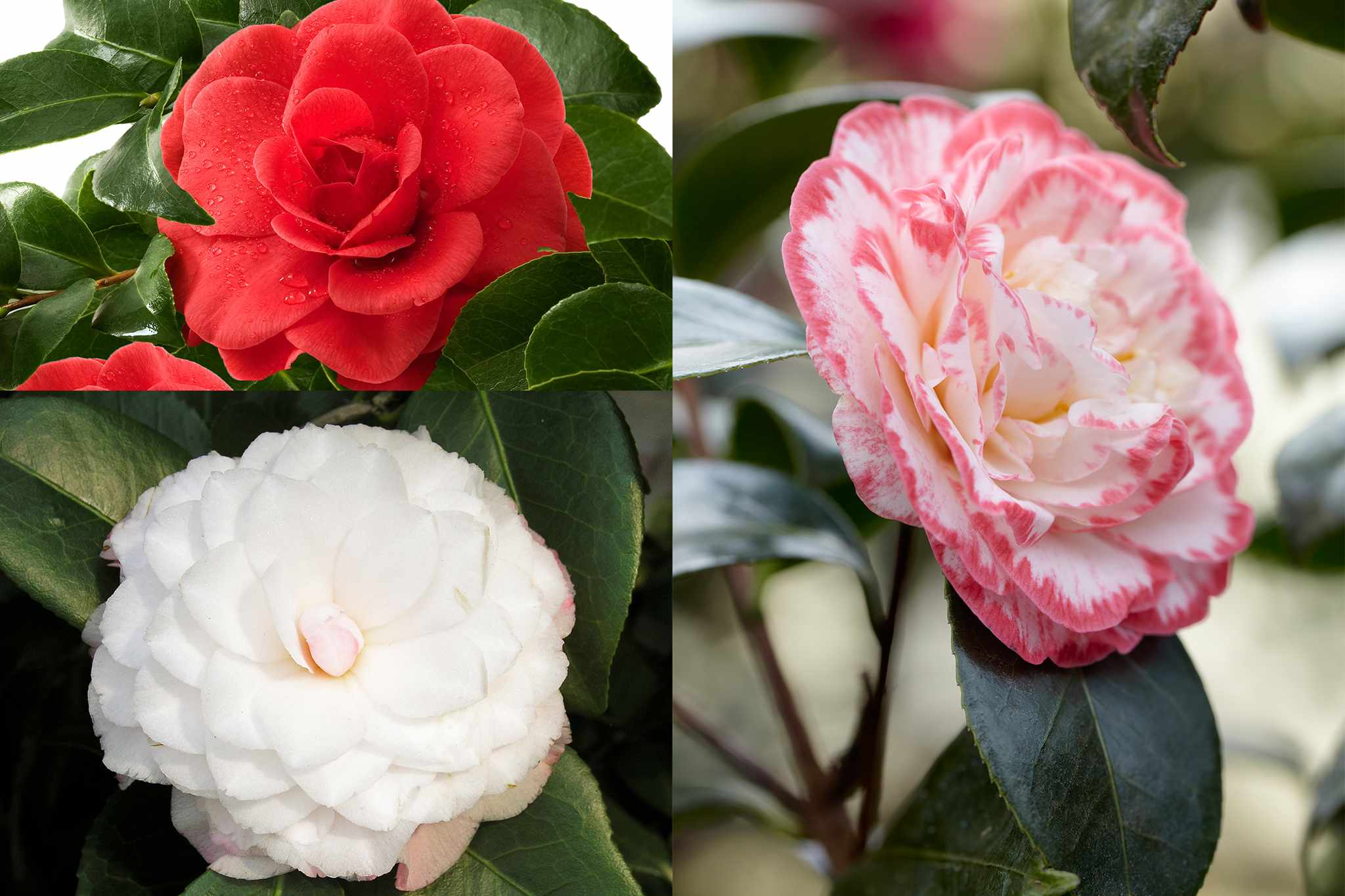 Camellia collection from Hayloft