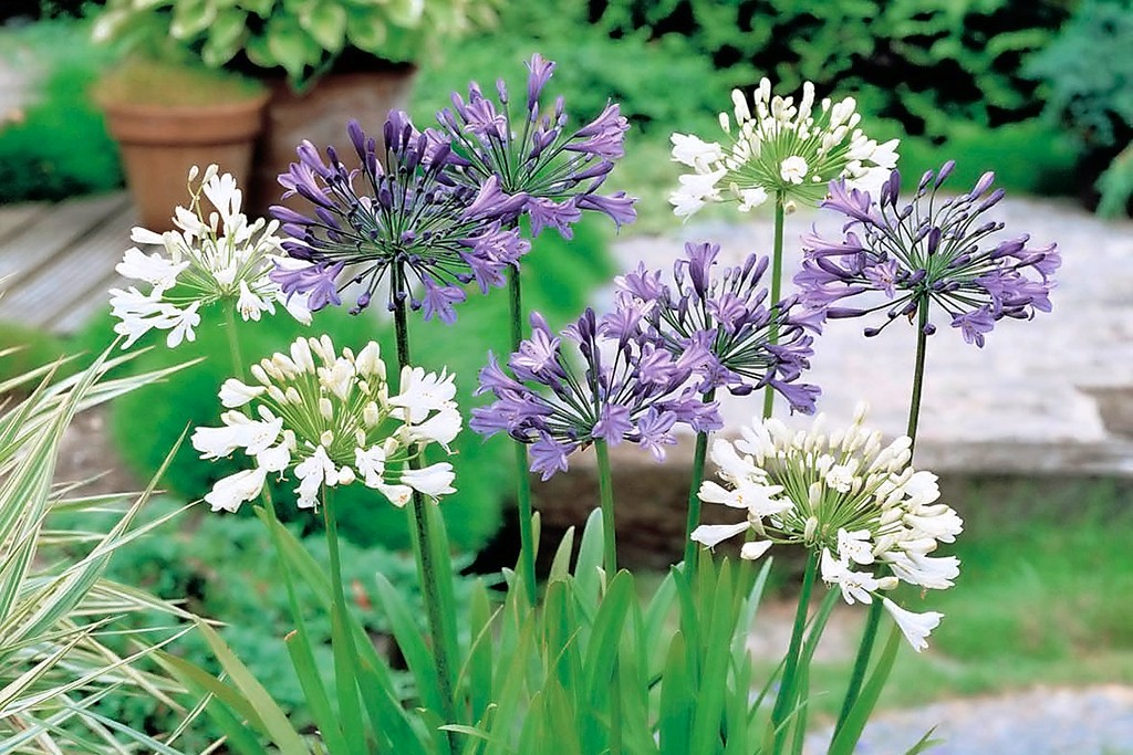 tandm-agapanthus-blue-and-white_v2-2048-1365