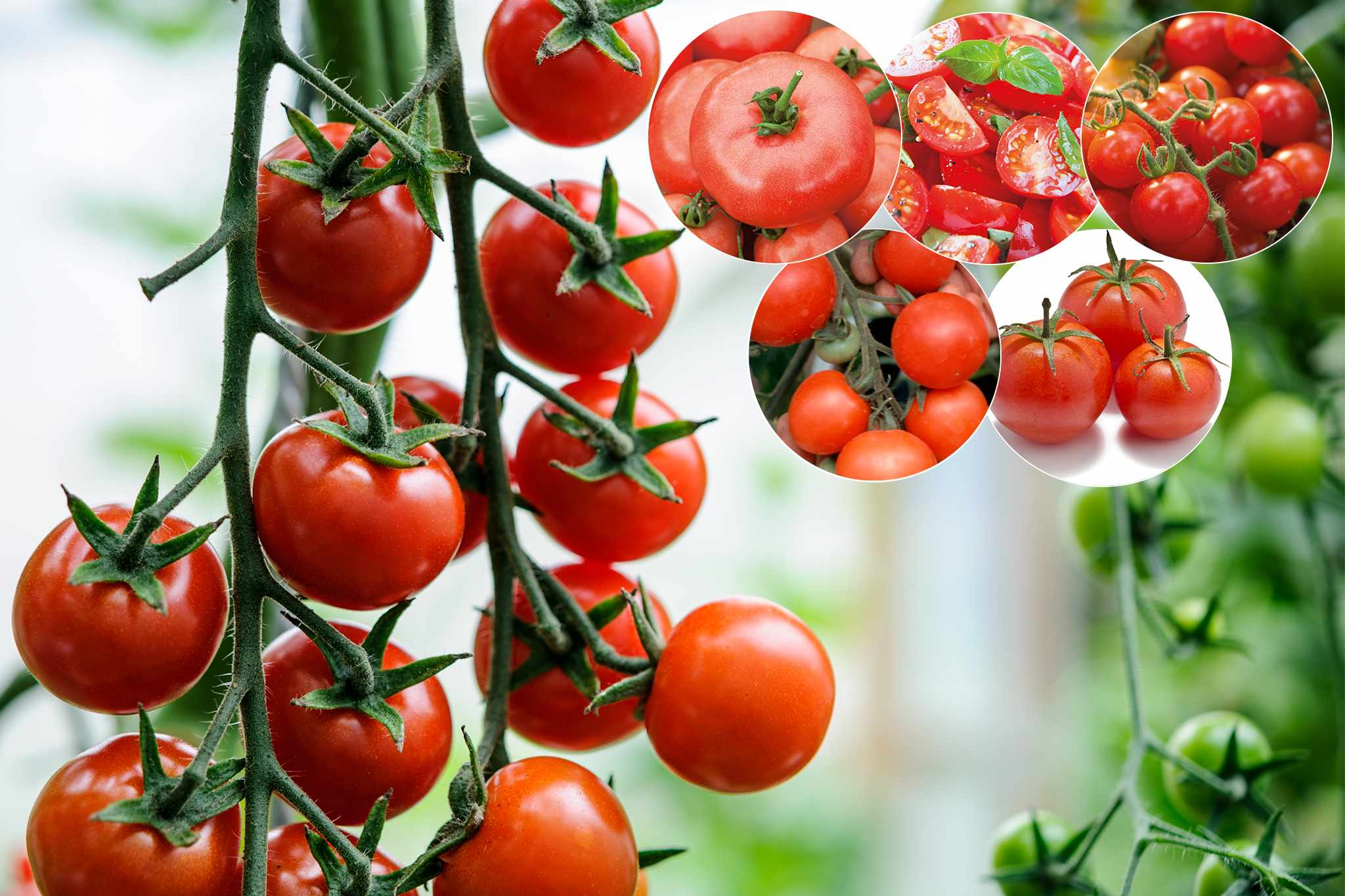 tandm-free-tomato-collection-april-2048-1365