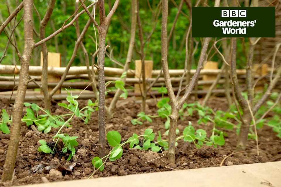Monty Don planting out peas