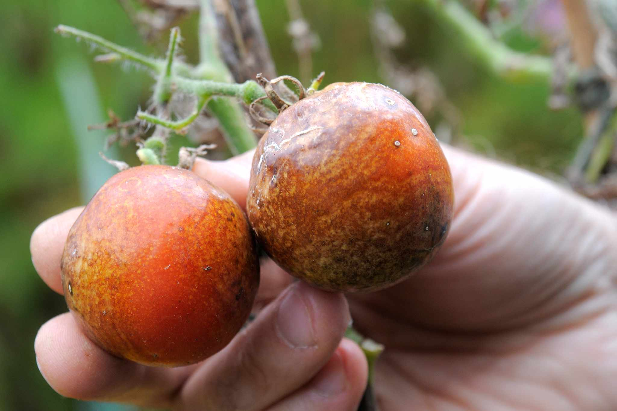 Tomatoes affected by tomato blight