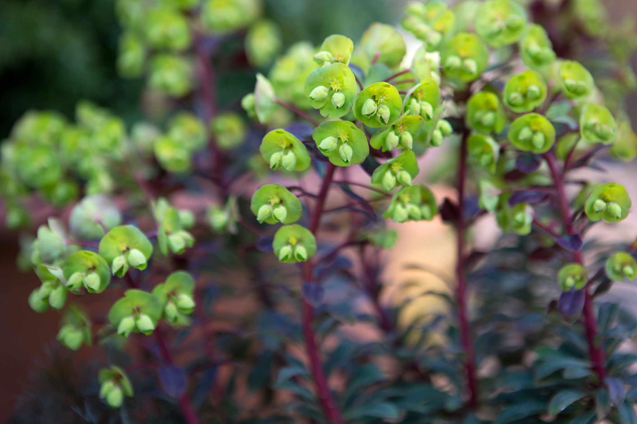 Plants with irritant sap - euphorbia