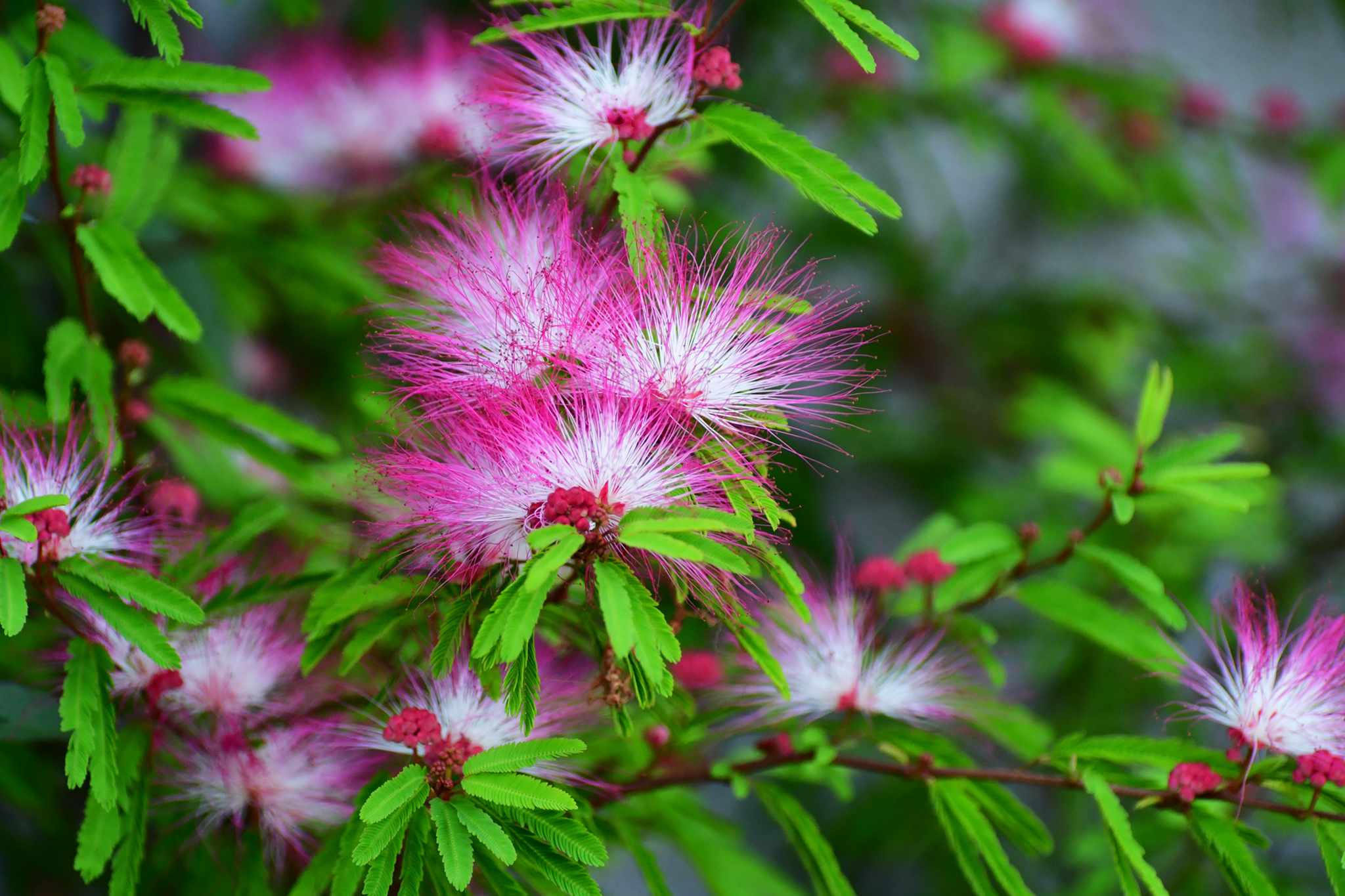 Flowers of Persian silk tree, Albizia julibrissin. Photo: Getty Images.