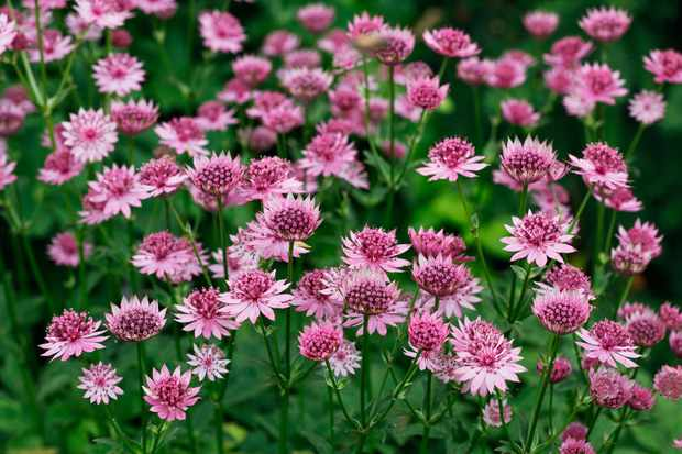 Astrantia 'Roma'. Photo: Getty Images.