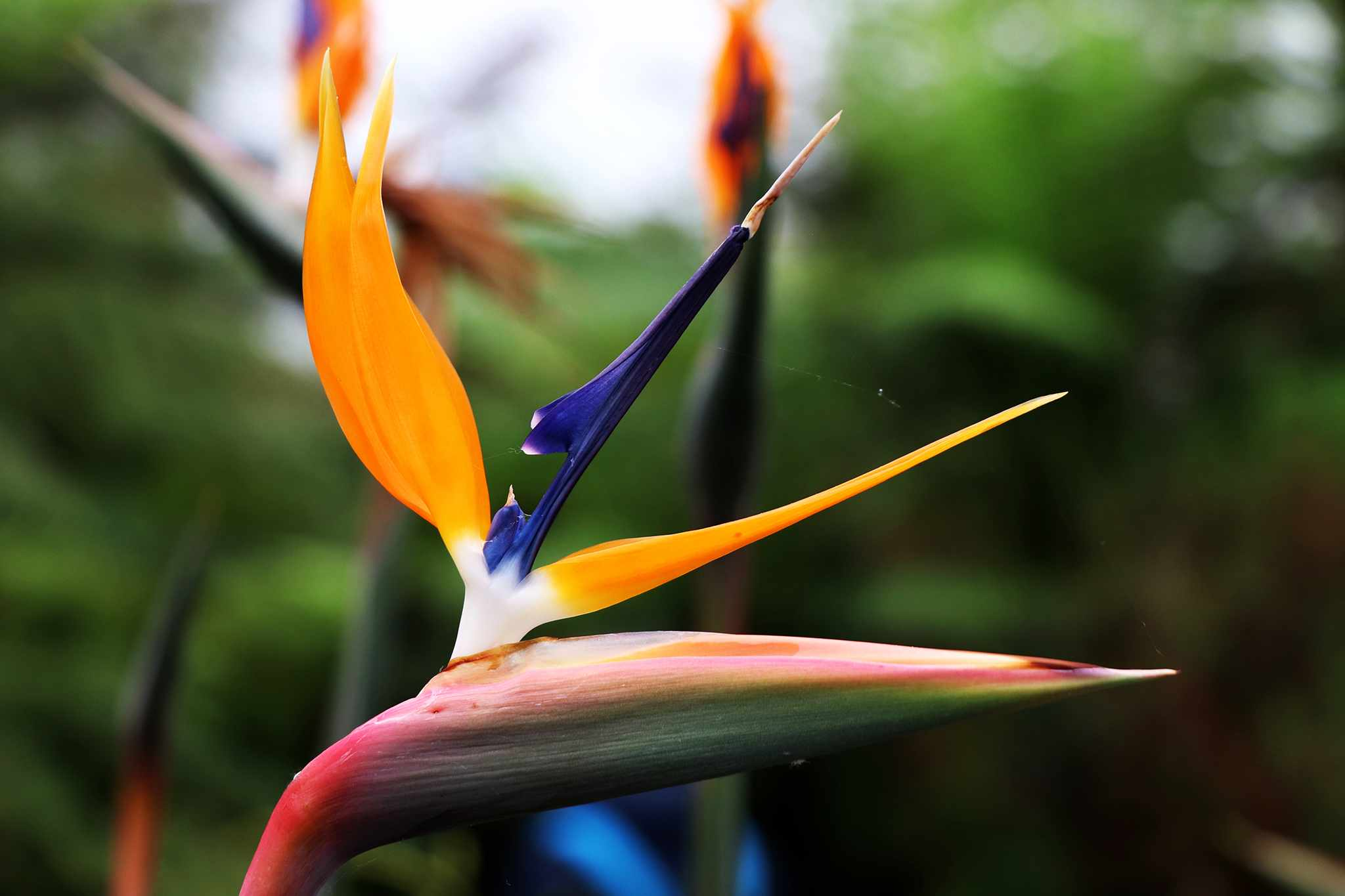 Bird of paradise, Strelitzia reginae, in flower. Photo: Getty Images.
