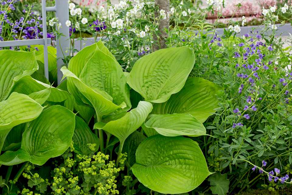 15 Of The Best Hostas To Grow Bbc Gardeners World Magazine