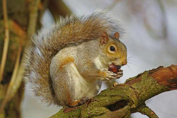 Grey squirrel (Sciurus carolinensis) eating a horse chestnut. Photo: Getty Images.