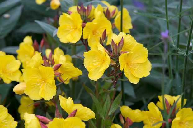 Evening primrose, Oenothera 'Crown Imperial'