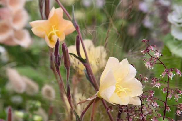 Evening primrose, Oenothera odorata 'Apricot Delight'