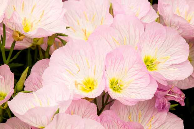 Evening primrose, Oenothera speciosa 'Siskiyou'