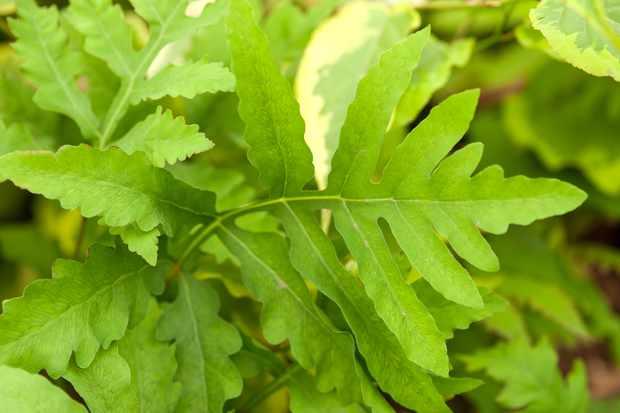 Sensitive fern, Onoclea sensibilis