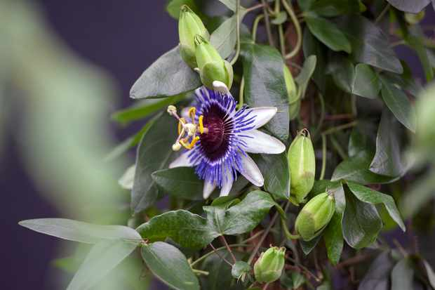Passion flower, Passiflora 'Silly Cow'