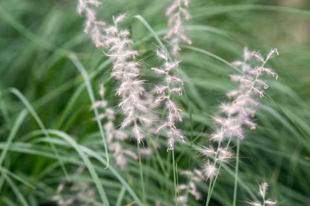Fountain grass, Pennisetum orientale