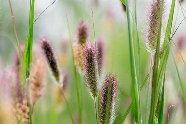 Fountain grass, Pennisetum thunbergii 'Red Buttons'