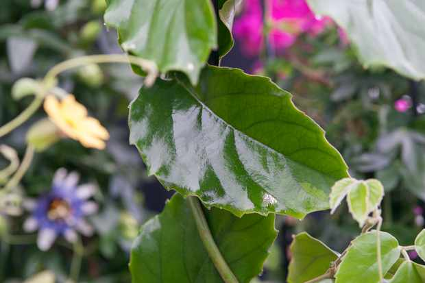 Chestnut vine, Tetrastigma voinierianum