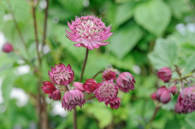 Astrantia 'Star of Fire'
