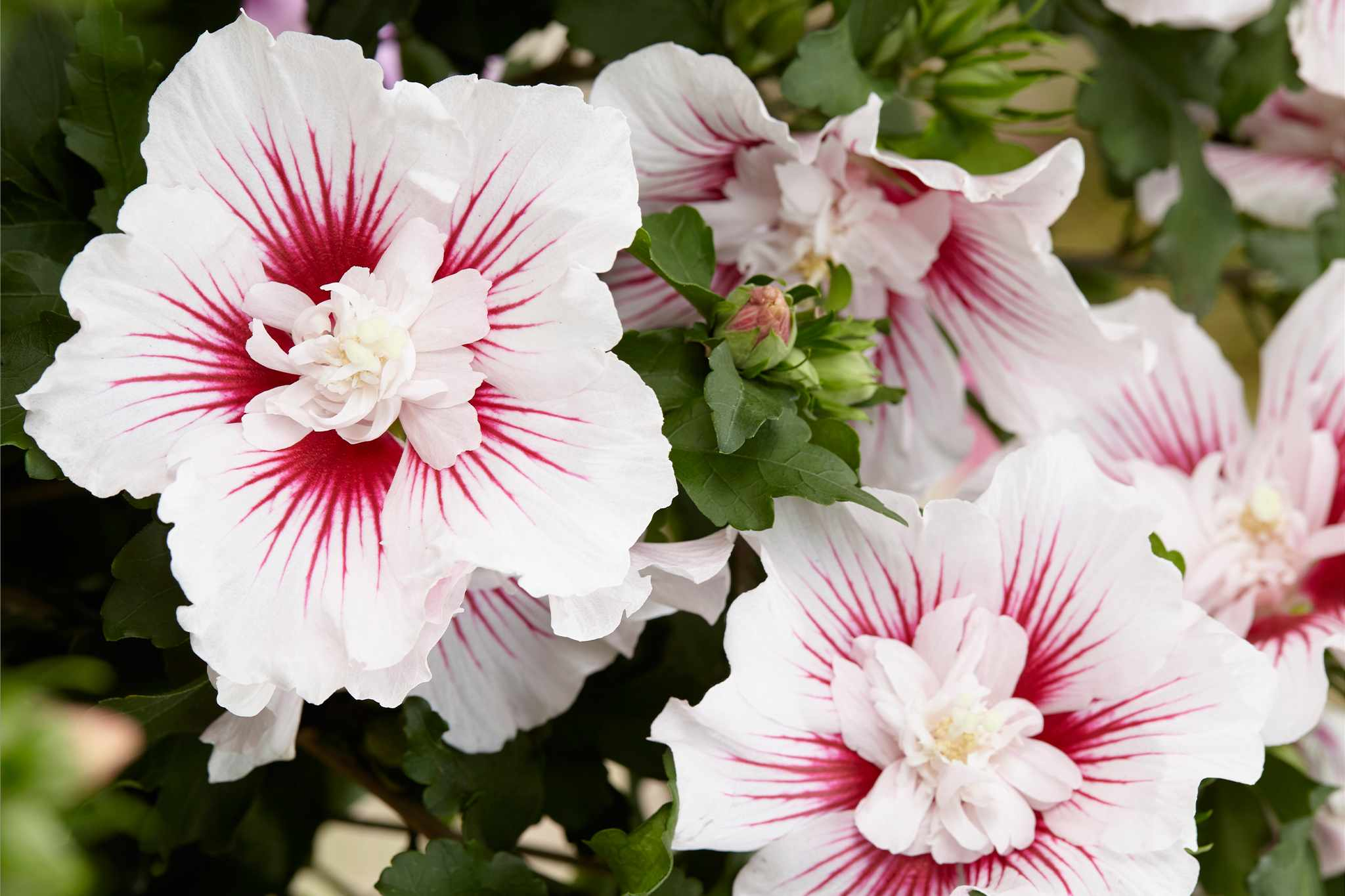 Hibiscus syriacus 'Starburst Chiffon from Blooming Direct