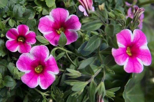 Calibrachoa 'Aloha Classic Tiki Hot Pink'