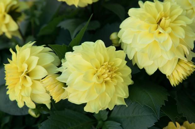 Dahlia 'Hypnotica Yellow 2019'