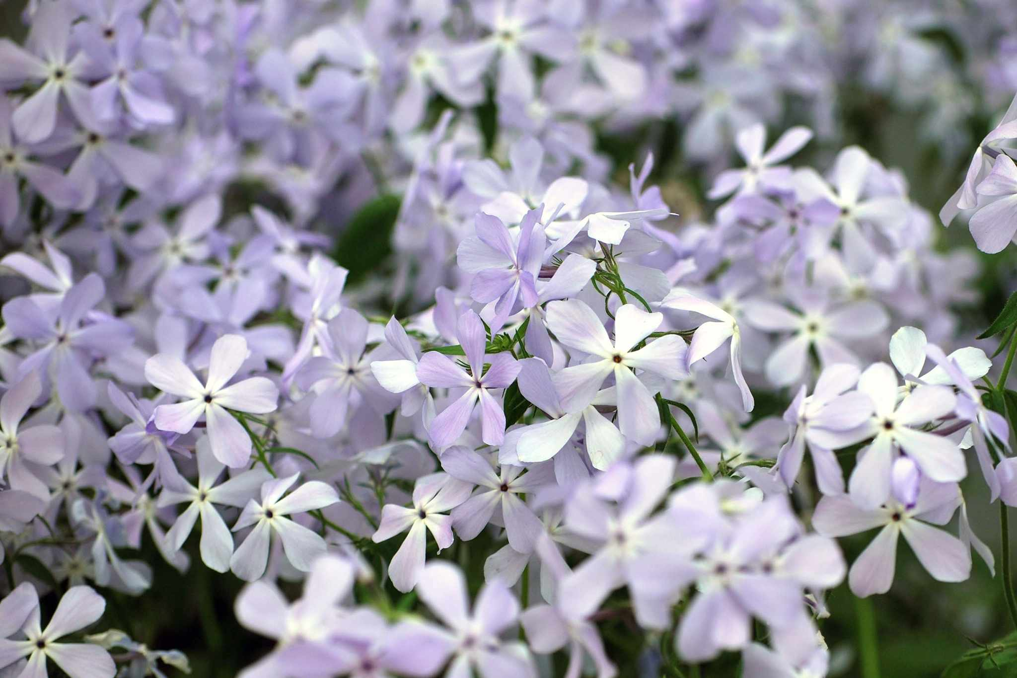 Phlox- 'Clouds of Perfume' from Hayloft