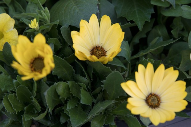 Osteospermum 'Margarita Yellow'