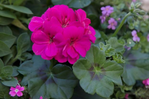 Pelargonium 'Survivor Idols Rosalinda'