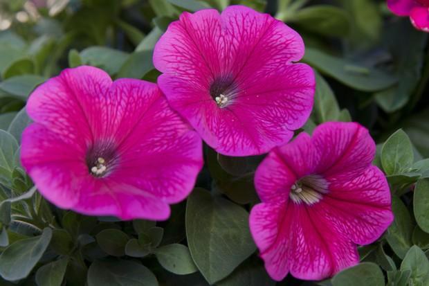 Petunia 'Surprise Hot Pink'