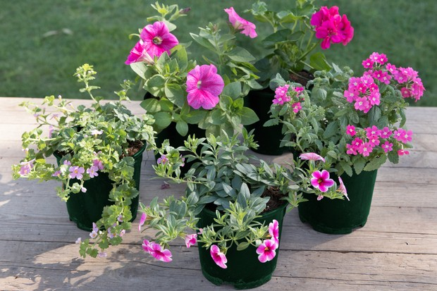 Pink Perfection individual plants