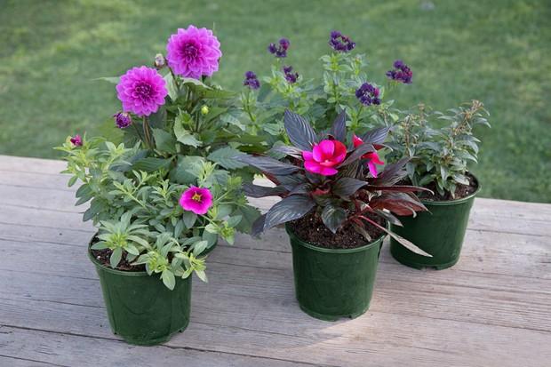 Regal Splendour individual plants