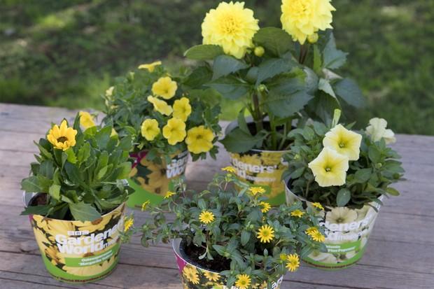 Summer Sunshine individual plants