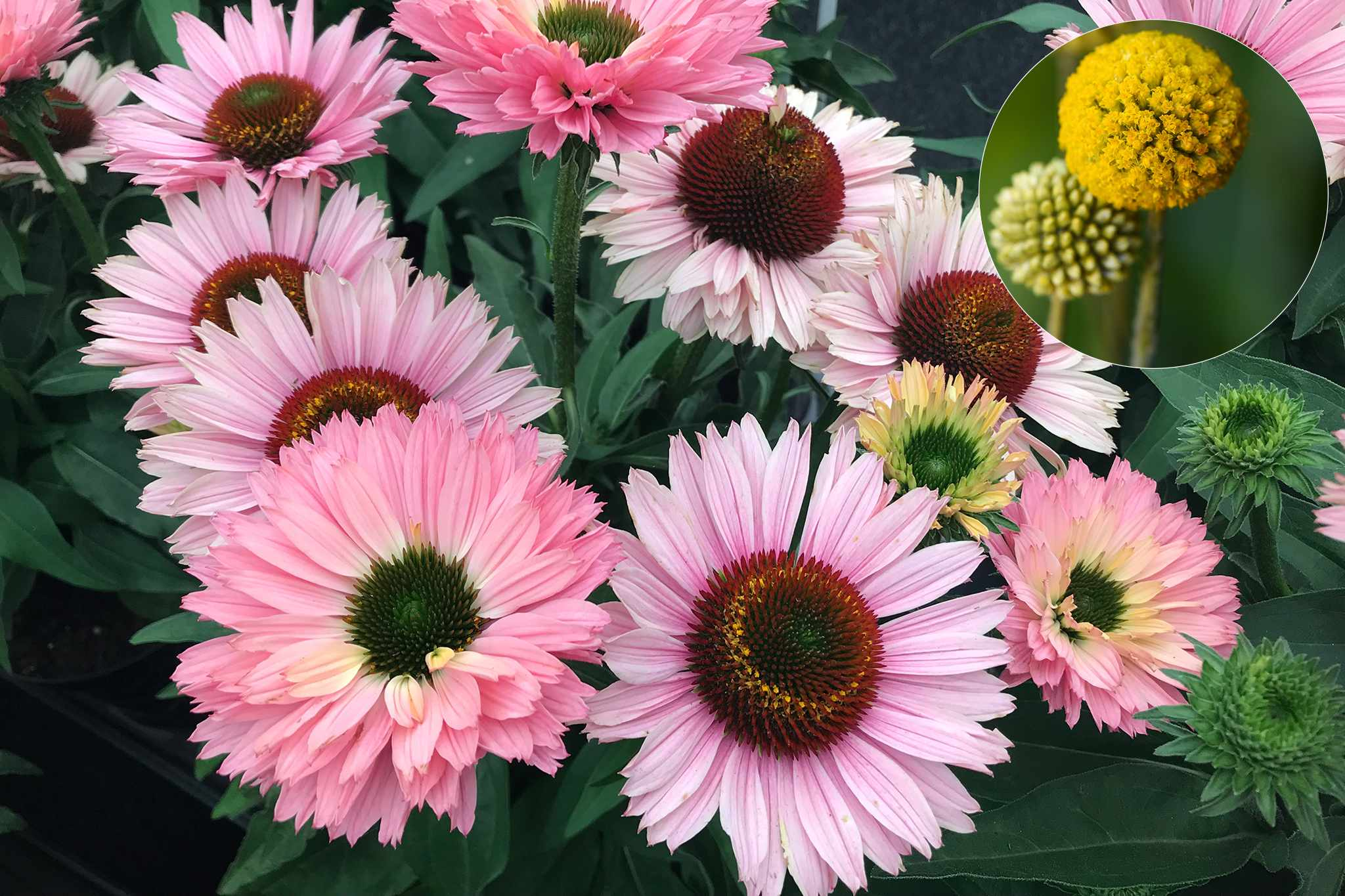 Echinacea 'Sunseekers Salmon' from Thompson & Morgan