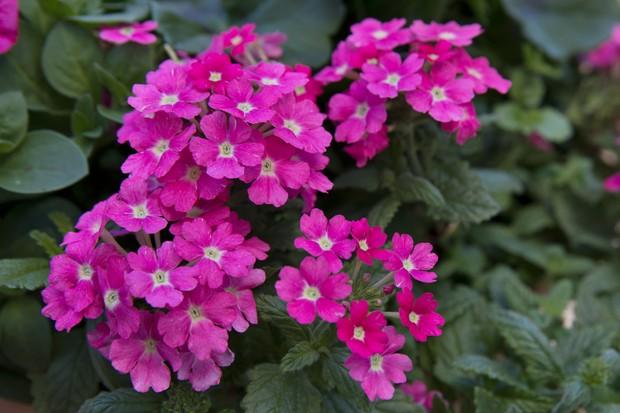 Verbena 'Empress™ Sun Pink 2019'