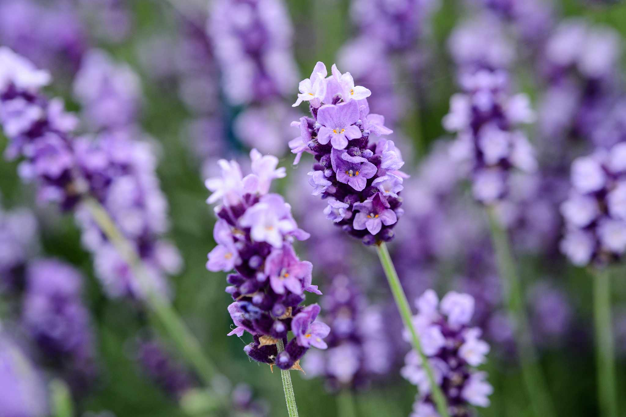 Free lavender 'Hidcote' from Woolmans