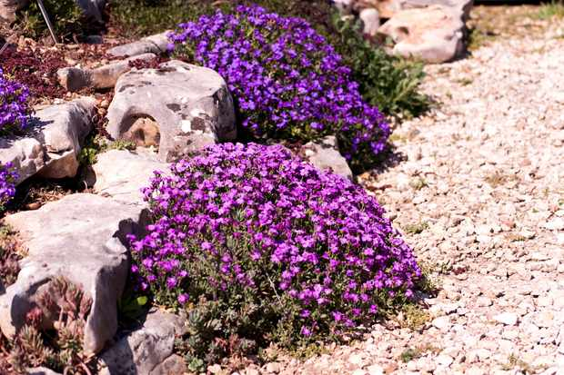 Plants for rock gardens - Aubretia