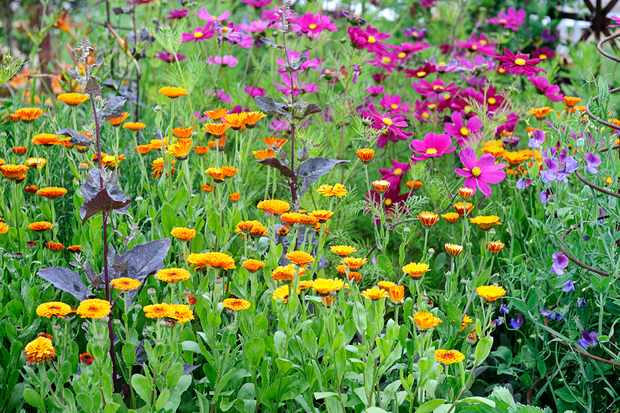 Hardy English marigold with pink cosmos