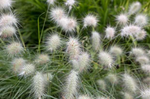 Fountain grass, Pennisetum villosum