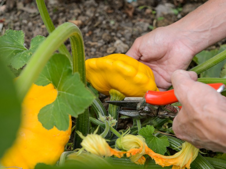Growing Patty Pan Squash Bbc Gardeners World Magazine