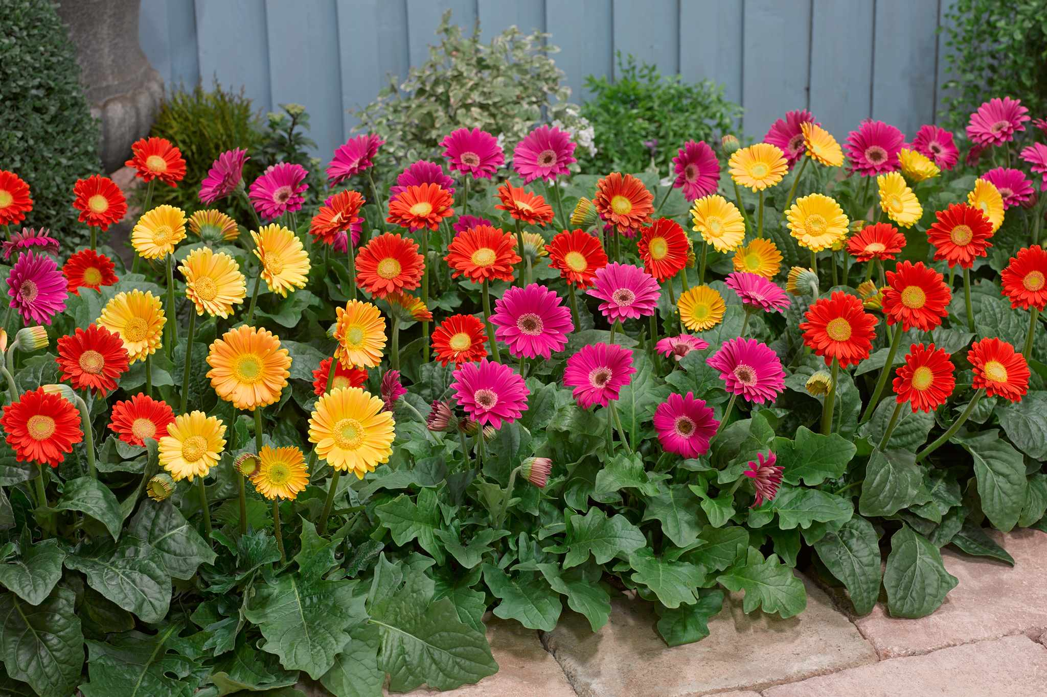 Hardy gerbera, from Blooming Direct